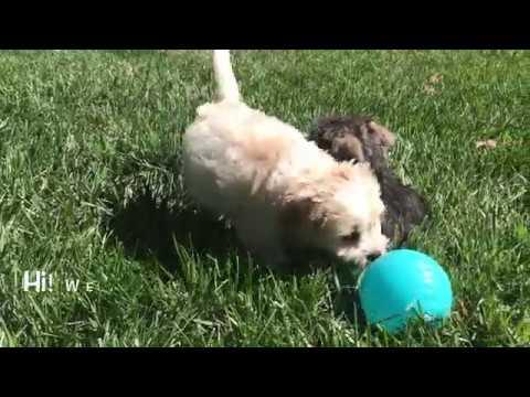 Miniature Schnauzer Puppy and Tiny Cavachon Puppy for Sale Near Augusta,  Georgia