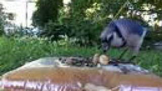 Loud Bluejay!! [backyard Bag Feeder Project]
