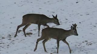 Zwierzęta Sarny Rodzinka na przedwiośniu /Animals  What do deer eat during the winter?