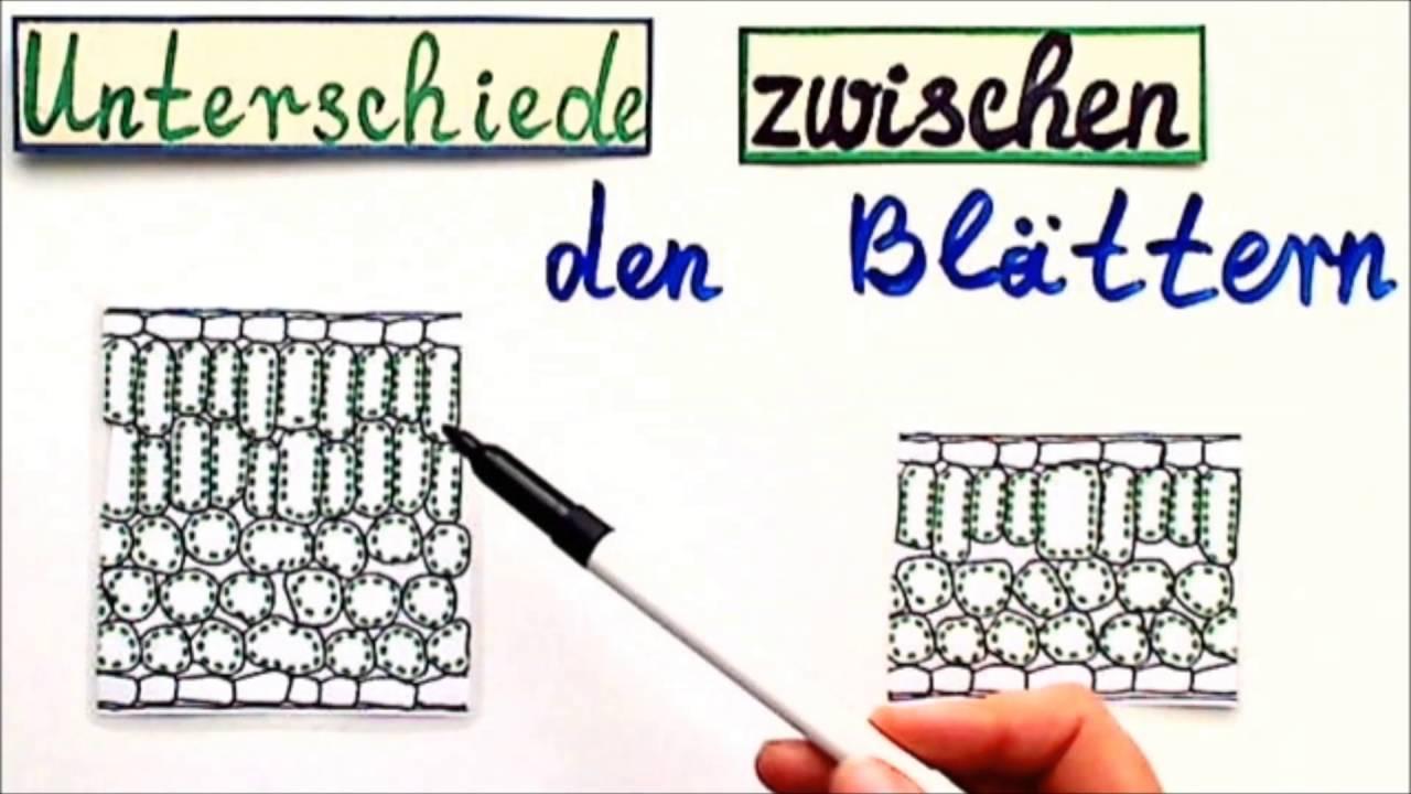 Unterschied Sonnenblatt oder Schattenblatt - YouTube