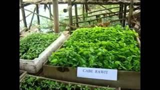 Cabai Rawit Sistem Polybag