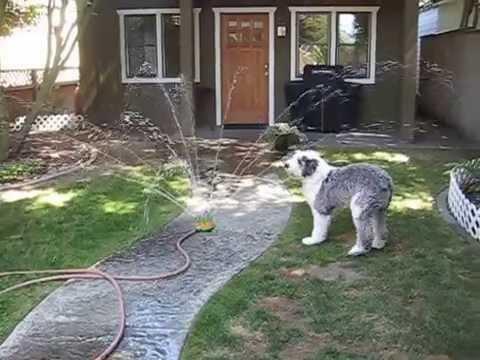 Kearney in the sprinkler