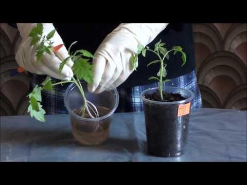 Вытянутая рассада томатов. Рекомендации для высокорослых томатов.