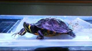 Turtle Tank Custom Massive Basking Area Acrylic Plexi Glass Ybs