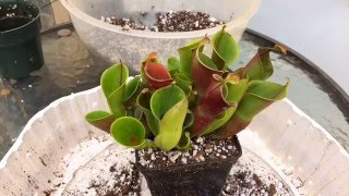 heliamophora carnivorous plant care how to repot a heliamphora