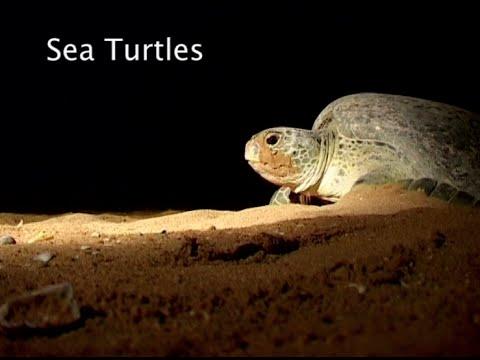 Sea Turtles in Pakistan