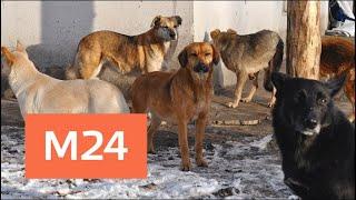 В Подмосковье стая собак погрызла девочку - Москва 24
