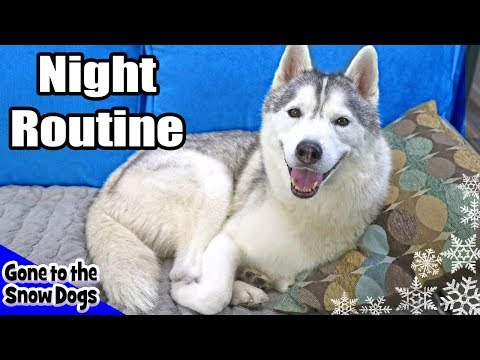 My Dog's Night Routine | Huskies Night Routine 2018