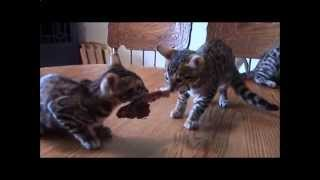 Котята жадно едят мясо