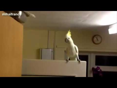 Крутые попугаи танцоры