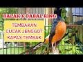 Murai Batu Medan Gacor Tembakan Cucak Jenggot Kapas Tembak Kicau Pidong  Mp3 - Mp4 Download