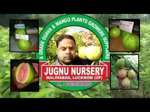 We are original variety guavas plants growers and suppliers.09695989296