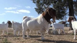 Pacifica Boer Goat Stud NSW Australia