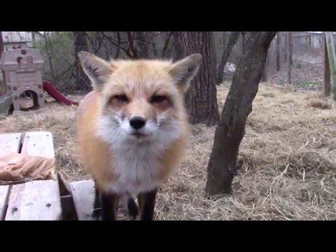Peanut butter fox breath