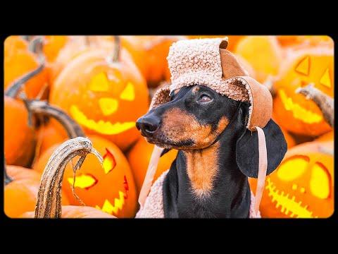 Trick or Dog treat! Cute & funny dachshund dog video!