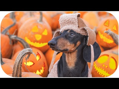 Trick or Dog treat! Funny Halloween 2019 dachshund video!