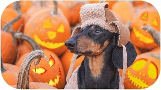 trick-or-dog-treat-funny-halloween-2019-dachshund-video