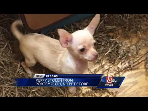 Have you seen this puppy? Chihuahua stolen from pet store