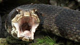 Repeat youtube video Cottonmouth vs Rattlesnake 01 - Snake Eats Snake