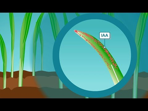 Plant hormones: How IAA, the most common form of auxin, works