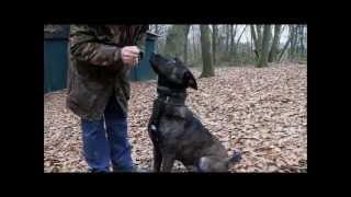 Dutch Shepherd Tygo Knpv Training In Holland