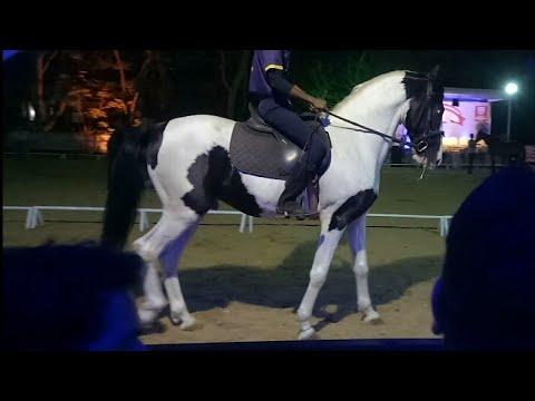 Auction of Ablack(pie bald)Marwari stallion.jappalouppe,pune.