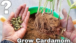 How to grow Cardamom, How to grow Cardamom plant