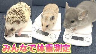 ペットみんなの身体測定!(ハムスター、ハリネズミ、チンチラ)