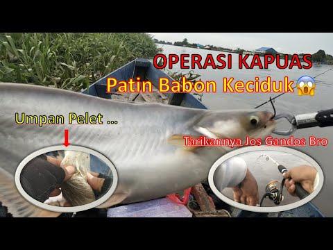 Mancing Ikan Patin Liar Besar Di Sungai Umpan Pelet Youtube