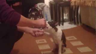 Boston Terrier  Puppy Training!