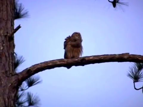 Two Barred Owls Hooting
