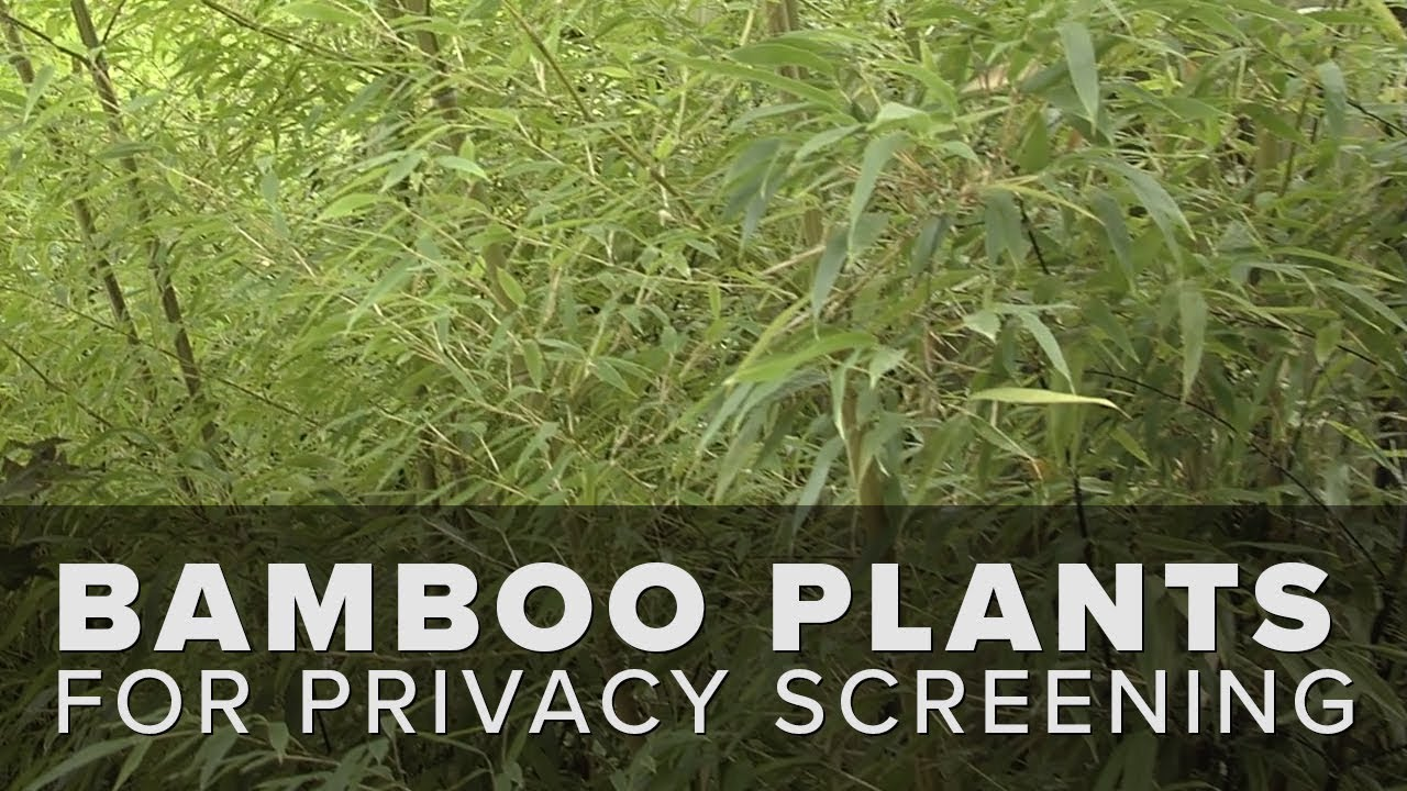Best Bamboo Plants to Grow in Your Garden | Garden Design
