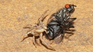 Little Crab Spider kills big black red eyed fat Fly (One beautiful Animal Planet of Nature Movie 4U)