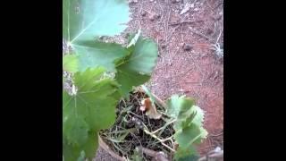 دالية شجرة العنب grapevine chajra natzourine
