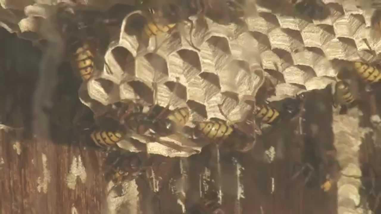 nido di calabroni dal vivo - youtube