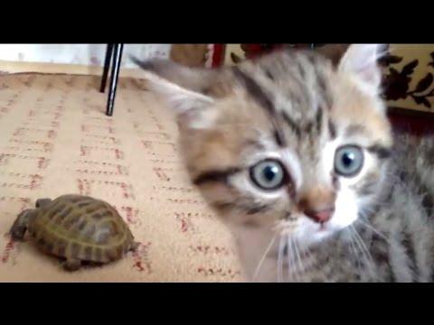 Видео прикол: Коты против черепахи ниндзя