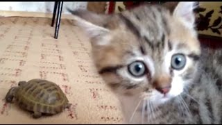 Кот атакует черепаху / Cat attacks a turtle
