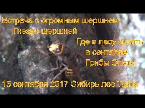 Поход в лес встреча с шершнем за грибами опятами 15 сентября 2017 Сибирь тайга сбор гриб тихая охота