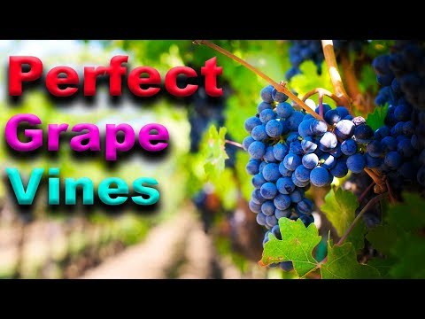 ESSENTIAL Grape Vine Growing Tips - That Really WORK