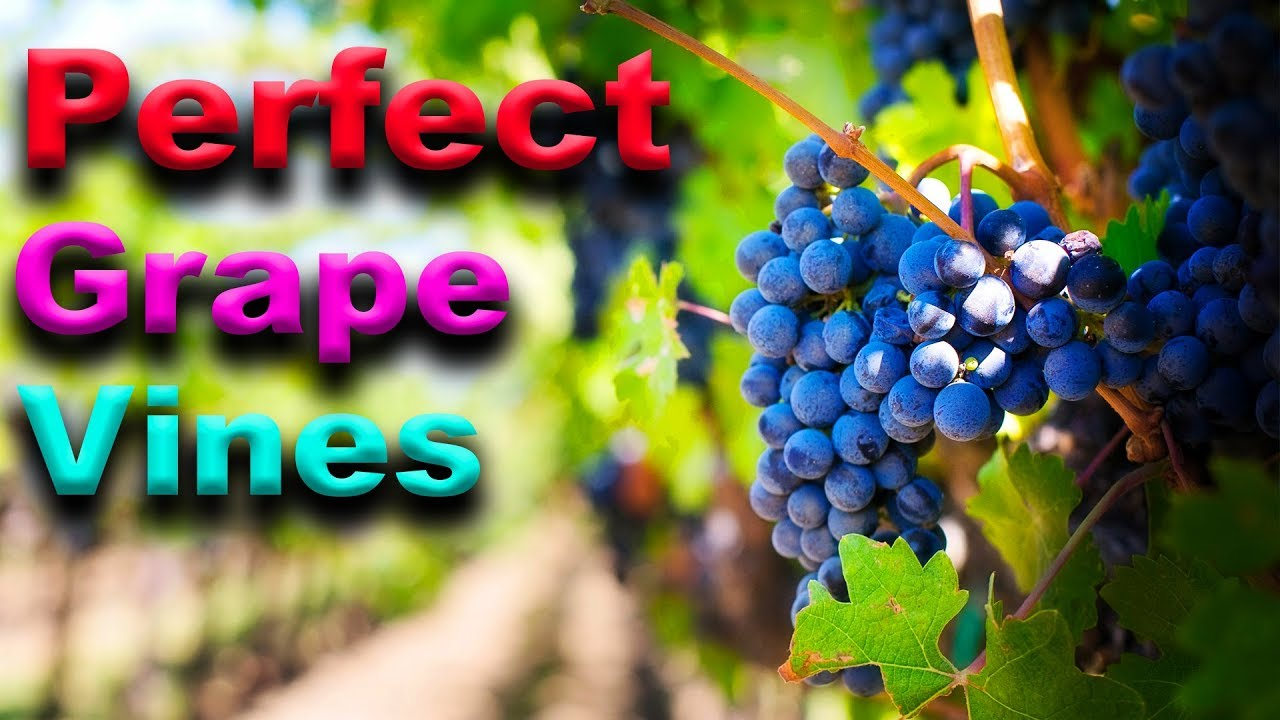 Essential Grape Vine Growing Tips That Really Work Youtube