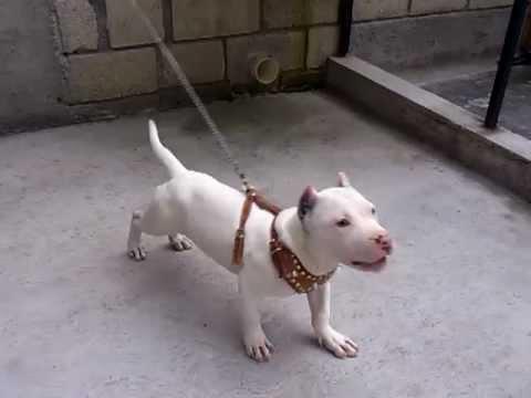 Perro Pitbull De 4 meses - YouTube