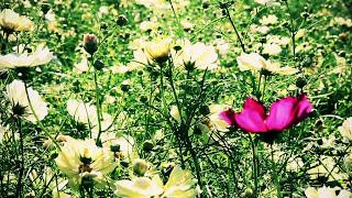 【VOCALOID】Orizzontia 【HD 720p】OriginalMV  Miku Hatsune by P∴Rhythmatiq