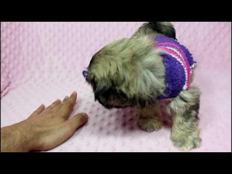Blake Lively - Teacup/Toy Shih-Tzu Puppy in Puppy Heaven LA