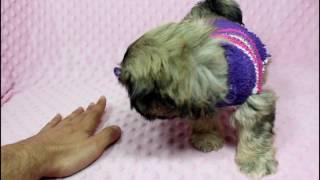 Blake Lively - Teacup/Toy Shih-Tzu Puppy in Puppy Heaven LA