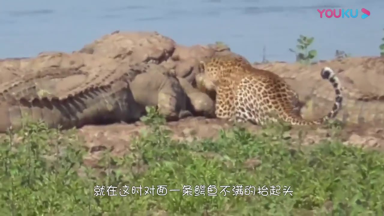 鱷魚群正在進食,不料一隻花豹前來搶食,鏡頭記錄全過程!