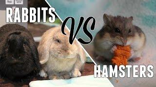 HAMSTERS VS RABBITS (comparison)