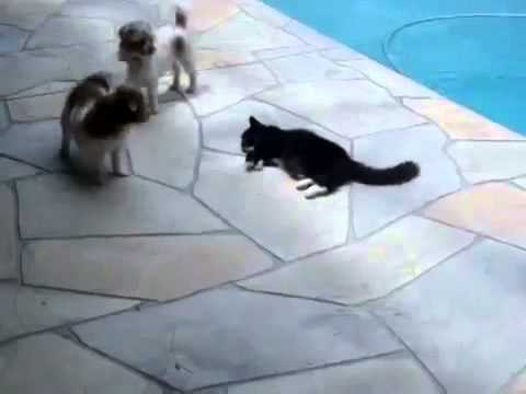 Cat pushes dog in a pool – The Translation