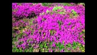Watch James Taylor Wild Mountain Thyme video