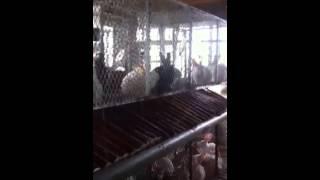 Rabbit farming in Uganda ( Rabbit world Uganda) part 2