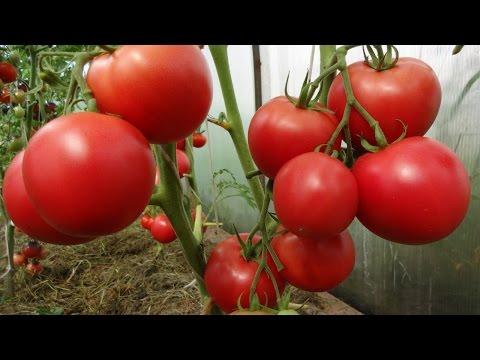 Помидоры,которые мы рекомендуем | магнитогорск | проверенные | помидоров | виктория | томатов | садовая | маркиз | лучшие | фирма | томат